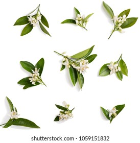 Top view of blossoming branches of orange tree with leaves, flowers and boods isolated on white background.