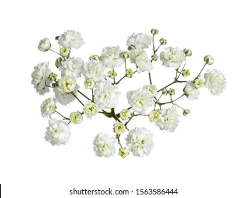 Top view of branch white gypsophilia flower. Isolated on white background.