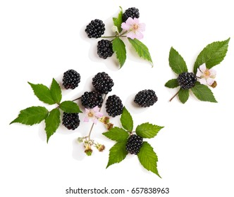 Top view of branches of organic blackberry with flowers, leaves and buds isolated on white background.