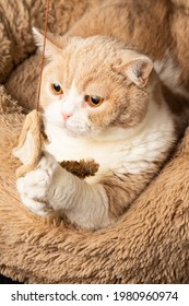 Top view of brown and white british shorthair cat, clutching a stuffed mouse, on bed, in portrait