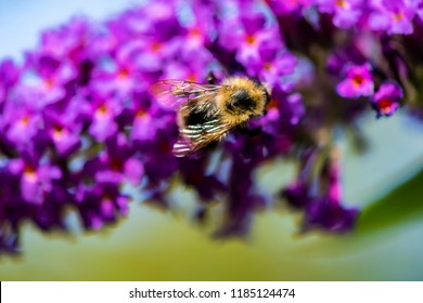 Top view of a bumblebee sitting on the blossoms of a butterfly bush.