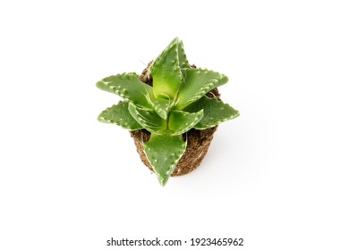 Top view of a cactus isolated on a white background.