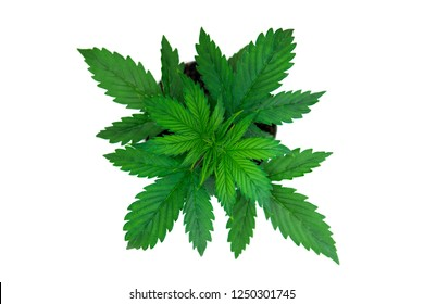 Top view. Cannabis on a white background isolate. Indoor cultivation. Cannabis Plant Growing. Beautiful background. Vegetation period. Marijuana leaves.