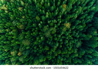 Top view of centuries old Carpathian forest trees, beautiful texture.