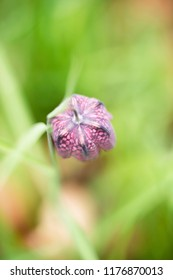 Top view of chequered lily with blurred green background.