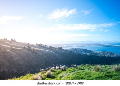 Top View of Christchurch city ,Coastal seaside Sumner suburb with a group of sheep