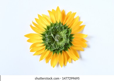 Top view close up backside of big single sunflower cutting on white background with green and yellow petals.