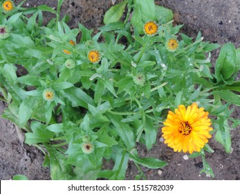 Top view close up of the blooming orange flower of Calendula officinalis, the pot marigold, ruddles, common marigold or Scotch marigold
