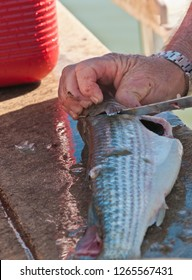 Top view, close distance of a fisherman filleting a large mullet fish at the fish cleaning station of a tropical marina on the Gulf of Mexico on a sunny, winter day