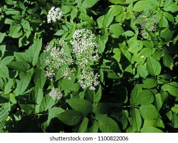 Top view close up of the flowers of Aegopodium podagraria L. commonly called ground elder, herb gerard, bishop's weed, goutweed, gout wort, and snow-in-the-mountain. Poland, Europe