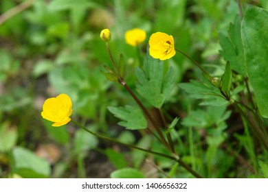Top view close up of the plant with flowers and leaves of Ranunculus acris,  meadow buttercup, tall buttercup, common buttercup and giant buttercup. Poland, Europe