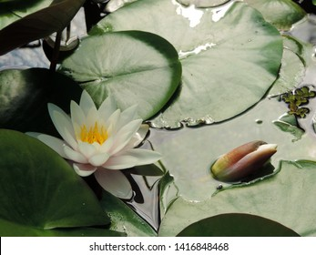 Top view close up of the white flowers and leaves of water lily Nymphaea Marliacea Albida. Poland, Europe