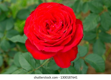 Top view and close-up focus of fresh red rose in garden.