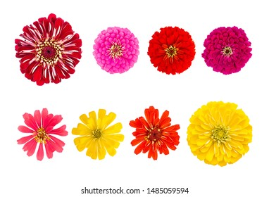 Top view Close-up red Common zinnia (Zinnia elegans) flower isolated on white background.