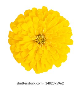 Top view Close-up yellow Common zinnia (Zinnia elegans) flower isolated on white background with clipping path.