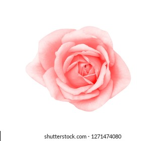Top view colorful pink rose flowers blooming isolated on white background with clipping path