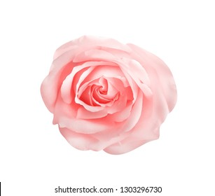Top view colorful pink rose flowers blooming isolated on white background with clipping path , ,beautiful natural patterns