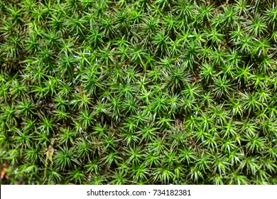 Top view of Common haircap, great golden maidenhair, great goldilocks, common haircap moss or common hair moss - Polytrichum commune.