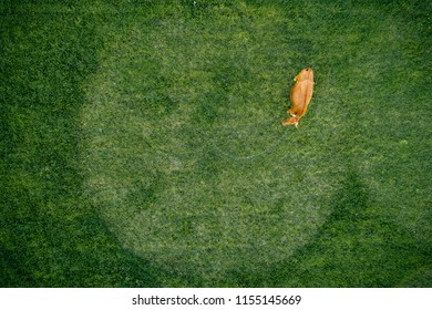 Top view of cow in meadow. Aerial photo.