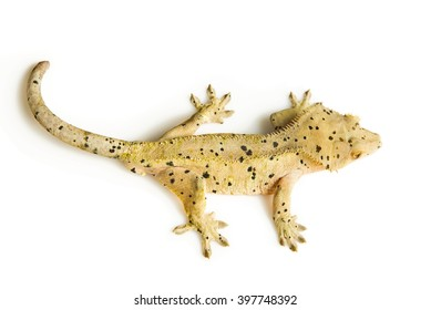 Top view of a crested gecko