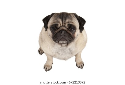 top view, cute grumpy pug puppy dog seen from above, isolated on white background