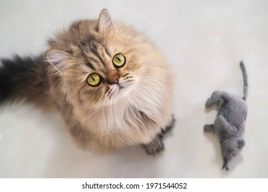 Top view of cute happy british longhair chinchilla persian kitten cat standing next mouse doll and looking up at camera owner and asking for pet food prize in the morning with copy space.