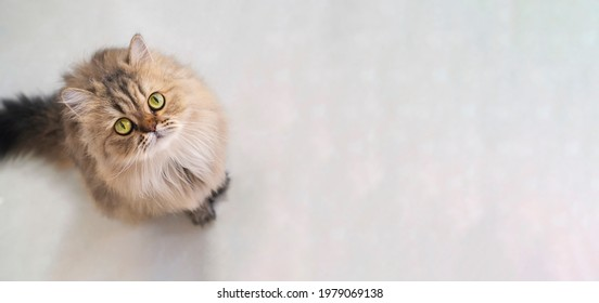 Top view of cute happy british longhair chinchilla persian kitten cat standing and looking up at camera with copy space. cat and pet concept