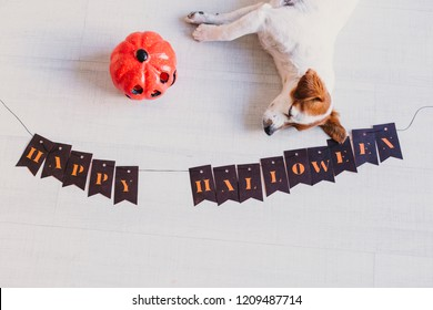 top view of a cute young small white and brown dog lying on the floor next to a pumpkin and a halloween garland. Home, pets indoors