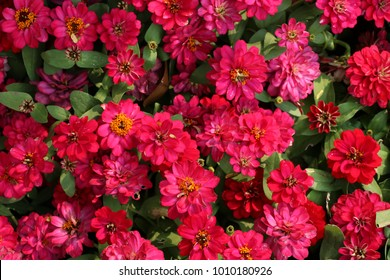 Top view of deep pink flowers bed background.