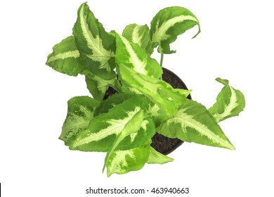 Top view of desk decoration plant name Albo virens or Syngonium podophyllum in small pot isolated over white