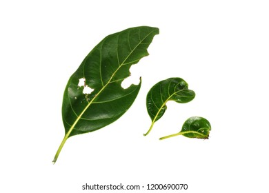 Top view different color and age of   jack fruit tree leaves. Line of colorful leaves on white  background .