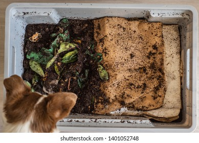 Top view of a dog looking down into a DIY worm farm composting bin in an apartment