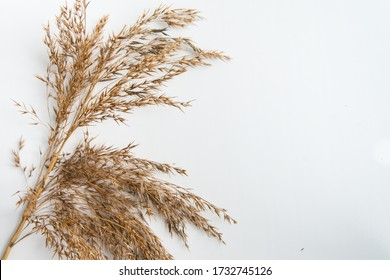 Top view of dry reed branch on the white background with copy space. Autumn dryied plant