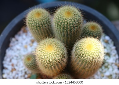 Top view Eriocactus leninghausii cactus plant with daylight in flower pot closed up image