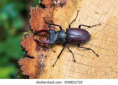 Top view of European stag beetle (Lucanus cervus). Biggest beetle species habiting in Europe standing on tree stump. Vihorlat hills, Eastern Slovakia.