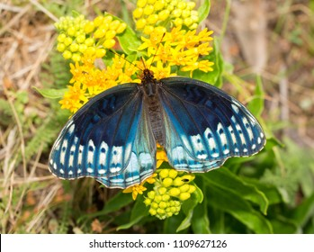 Top view of a fabulous blue female Diana Fritillary butterfly, a very rare species from southern states