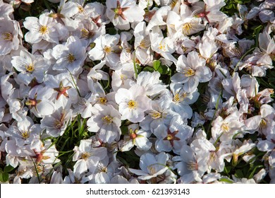 Top view of fallen white Cherry blossom flowers lit by spring sun rays.