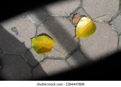 Top view of fallen yellow Bo leaves (Bodhi leaves) on the cement brick floor, Thailand.