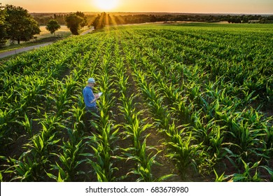 Top view. A farmer in his cornfield examines his crops with a digital tablet at sunset