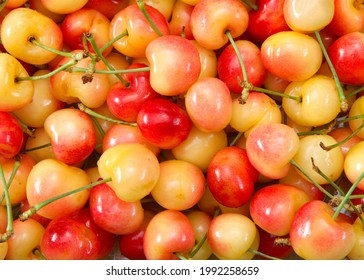 top view flat lay close up of fresh organic Rainier Cherries with stems. Water drops on fruit.