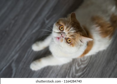 Top view or flat lay portrait of  Brown Exotic shorthair cat look at camera and sit on wooden floor with copy space for text. Adorable animal or pet inside house or home. best human friend.