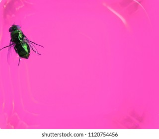 Top view of a fly on pink background,colorful blurred background.