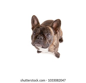 top view of a french bulldog isolated on a white background looking up at the camera