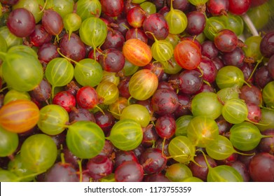 Top view of fresh juicy gooseberries (Ribes uva-crispa)