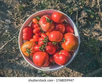 Top view of freshly harvested organic red tomatoes in a white plastic bucket in the garden under the sunlight.