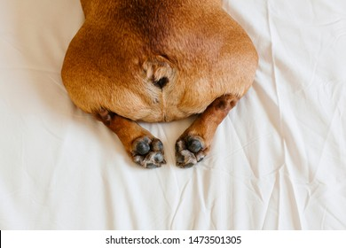 top view of funny french bulldog. Dog lying on bed an relaxing. Daytime and lifestyle indoors