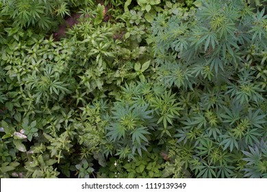Top view of a garden with cannabis sativa and other random plants.