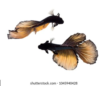 Top view Gold Black Siamese fighting fish (Betta Splendens), Isolated on white background.