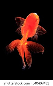 top view gold fish isolated on black background.