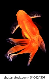 Top view of gold fish isolated on black background.